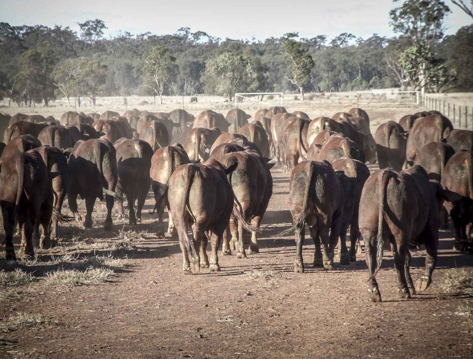 Glen Fosslyn Bulls  Ready to work for you